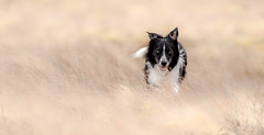The Lasting Wait (JJFET) Tags: border collie dog sheepdog herding
