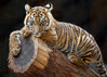 The Cutest Little Bump on a Log (Penny Hyde) Tags: babyanimal cub safaripark tiger tigercub