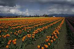 april9ththru16th 078 (condor avenue) Tags: april9ththru16th skagit skagitcounty tulipfestival daffodilfields tulipfields washington tulips springflowers spring