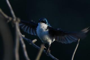 Tree Swallow (Tachycineta bicolor) DDZ_2424