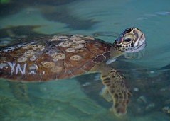 Green turtle recovering at Gulf World Marine Park (MyFWCmedia) Tags: florida floridafishandwildlifeconservationcommission fwc greenturtle gulfworldmarinepark wildliferescue cold stunned sea turtles