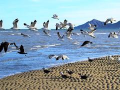 Seagull beach (thomasgorman1) Tags: birds sea seagulls gulls nature sand water ocean baja mexico canon flight flock cortez mountain
