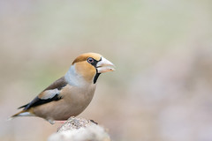 EXPLORE - Coccothraustes coccothraustes - Hawfinch (Mr.Dinkelman) Tags: sony a6000 sigma mc11 canon 200l f28 coccothraustescoccothraustes hawfinch kernbeiser