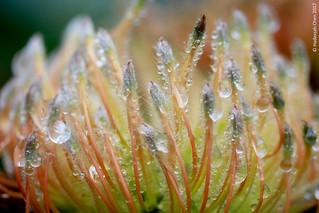 Rain drops on a Protea flower  [Flickr Explore: 16 Dec 2017]