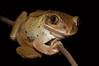 Frog-eyed on a balance beam (zimbart) Tags: chirondearea coutada12 mozambique africa cheringoma fauna vertebrata amphibians anura frogs leptopelis leptopelismossambicus arthroleptidae