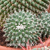 Mammillaria compressa-2 (SUBENUIX) Tags: cactaceae mammillariacompressa suculentas subenuix subenuixcom planta suculent suculenta botanic botanical