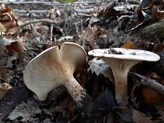 Infundibulicybe geotropa (Dochac - Meteorologist) Tags: clitocybe infundibulicybe clitocybegeotropa infundibulicybegeotropa cimballo cimballoreale fungi fungus mushrooms seta setas hongos pilzen champignons wood nature