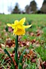 Prelude to spring (Peter Denton) Tags: daffodil flower yellow flora surrey england polesdenlacey garden nationaltrust ©peterdenton canoneos100d