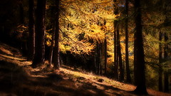 Lights in the wood (antony5112) Tags: autunno ayas antagnod mandriou wood trees autumn fall larches orton