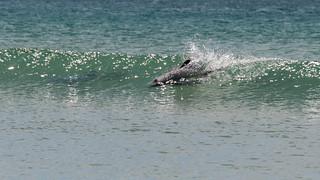 surfing dolphin-