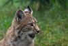 Luchs (grasso.gino) Tags: tiere animals natur nature zoo nikon d5200 wildpark granat katze cat luchs lynx
