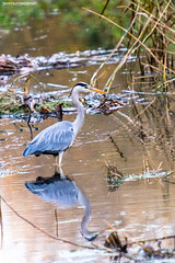 Grey Heron with reflection (welshside) Tags: cardiff stmelons wildlife nature bird heron greyheron