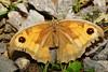 DSC06637 (jorgeaq) Tags: sonyalpha700 tamron90spdi128macro macro closeup bicho insecto mariposa butterfly