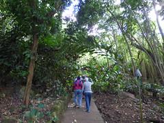 Wailua River State Park - Fern Grotto (8) (pensivelaw1) Tags: hawaii kauai wailuariverstatepark ferngrotto
