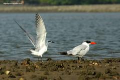IMG_7736 Caspian Tern (Hydroprogne caspia) & Gull-billed Tern (Gelochelidon nilotica) (vlupadya) Tags: greatnature aves fauna indianbirds caspian tern hydroprogne kundapura karnataka gullbilled gelochekidon