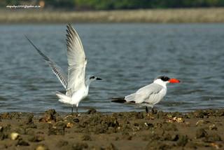 IMG_7736 Caspian Tern (Hydroprogne caspia) & Gull-billed Tern (Gelochelidon nilotica)