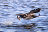 American Bald Eagle Fishing [4026] (cl.lin) Tags: americanbaldeagle eagle lockanddam14 leclaire iowa mississippiriver nature fishing