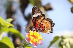 Leopard Lacewing ♂ Cethosia cyane (Roger Wasley) Tags: leopardlacewing cethosiacyane male butterfly butterflies nameri nationalpark india asia