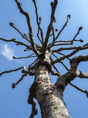 London Plane (Peter.Luty) Tags: trees london plane londonplane sculptural naturalsculpture gnarled gnarledtree shaped twisted twistedtree nature bluesky blue bark peelingbark treesurgeon drastic drasticaction