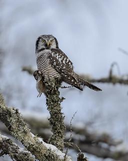 Northern Hawk Owl-45800.jpg