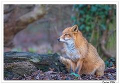 Le beau Renard roux (C. OTTIE et J-Y KERMORVANT) Tags: nature animaux mammifères renard renardroux parcanimalier suisse