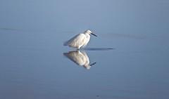 6230 Little Egret - Egretta garzetta (Andy - Busyyyyyyyyy) Tags: aaa avian bbb birds egrettagazetta littleegret littleegretegrettagarzetta menaistraits mmm seawater sss water www