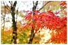 Autumn (Carrie YL) Tags: leaves autumn red maple wind canon colorful sigma warmcolors trees park 红叶 枫叶 vancouver 秋