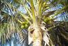 Coconuts (René Maly) Tags: renémaly caboverde film kodak gold200 c41 tetenal minolta weathermatic 35 afdl