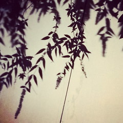 Buddleia shadows (Daniel James Greenwood) Tags: nokialumia phonephoto mobilephonephotos danielgreenwood danielgreenwoodphotography instagramphotography instagram