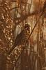 Emberiza schoeniclus (AlexandreRoux01) Tags: reed bunting emberiza schoeniclus bruant des roseaux