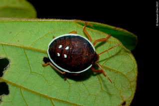 Unknown Shield Bug from Singapore