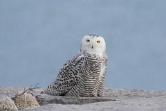 Far & near (rdroniuk) Tags: birds raptors owl birdsofprey owls snowyowl snowyowlirruption buboscandiacus oiseaux oiseauxdeproie rapaces hibou hiboublanc harfangdesneiges