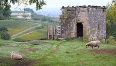 Sheep and meadows in Brunet (RJAB2012) Tags: sheep meadow brunet alpesdehaute france haze 100v10f