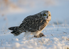 Short-eared Owl eating a vole in the snow (Thomas Muir) Tags: asioflammeus tommuir hunting woodcounty bowlinggreen ohio winter migration nikon d800 600mm midwest animal raptor vole eating bird birdwatching day outdoor nature prey predator