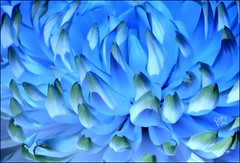 Mum's Got the Blues (ChipRossMaine) Tags: flower disbud chrysanthemum pompom pompon lighting closeup macro cremon mum canoneosrebelt7i canoneos800d rebelt7i eos800d chipsfolio