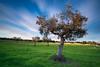 Olive tree (Davide Anastasia) Tags: puglia d800 nikond800 leefilters leebigstopper longexposure clouds