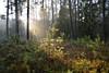 Régénération (Excalibur67) Tags: nikon d750 sigma globalvision 24105f4dgoshsma paysage landscape forest foréts arbres trees vosgesdunord lumière