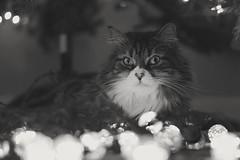 Cat (-Simulacrum-) Tags: christmas kitty nikon 50mm niftyfifty 500mmf18 nikond5300 blackandwhite monochrome light christmaslights catportrait