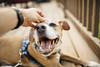 Bullet [07.02.17] (Andrew H Wagner | AHWagner Photo) Tags: 5dmk3 5d3 5dmkiii 5dmarkiii 5dmark3 canon eos 35l 35mm f14 f14l bokeh dof portrait dog puppy rhodesian ridgeback