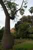 Silk Floss Tre (Ceiba speciosa) (Victoria Lea B) Tags: ceibaspeciosa sicily italy tree silkflosstree palermo botanicalgarden ortobotanico
