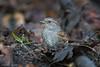 _D511720 (De Hollena) Tags: accenteurmouchet acentorcomún dunnock heckenbraunelle hedgesparrow heggenmus prunellamodularis