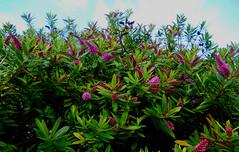 bon dimanche à vous tous ! (jeanpierrefrey) Tags: fleurs bretagne îledebatz finistère