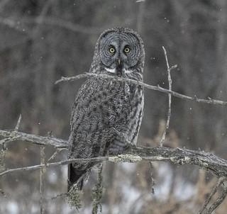 Great Gray Owl (Strix nebulosa) #4  Explored #182/500