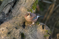 Leighton Moss (Josh R S) Tags: birds leightonmoss rspb silverdale wildlife wildlifephotography rspbleightonmoss jay britishwildlife britishwildlifeimages wildlifeimages