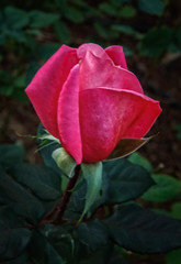 The Rose Bud (http://fineartamerica.com/profiles/robert-bales.ht) Tags: forupload haybales people photo plants projects rose perennial rosa rosaceae pink closeup prickles thorns ornamental brush plant flower pedals peaceful love pedal romance passion valentine isolated floral blossom greetingcard nature anniversary rosepetals iphone celebration pinkrose gift wedding beautiful petal birthday romantic robertbales flora bicolor botany bouquet beauty rosebush red horticulture