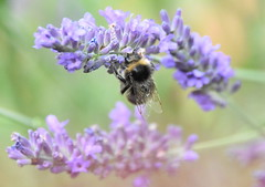 The bee and the Lavender. (pstone646) Tags: bee insect nature fauna flora animal wildlife closeup softfocus plant bokeh kent ashford lavender flowers pollination
