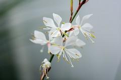 white (primemundo) Tags: stigma stamen stamens filament petal whiteonwhite