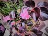 Rosadito. (Fotógrafo Mental) Tags: treboles flores flowers pink