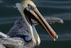 The Pelican Experience!!! (Christine Fusco) Tags: brownpelican commonpelican southcarolina charleston southern bird beak longbeak marsh swamp