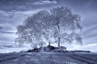 The Fulton Trees
